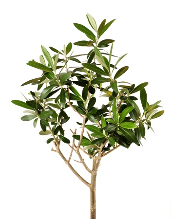 Lush young olive tree closeup isolated on white photo