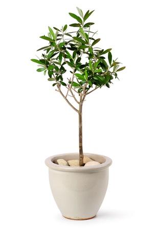 olivo arbol: Árbol joven de oliva en una olla de cerámica estilo aisladas sobre fondo blanco Foto de archivo