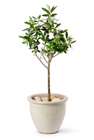 Young olive tree in stylish ceramic pot isolated on white background