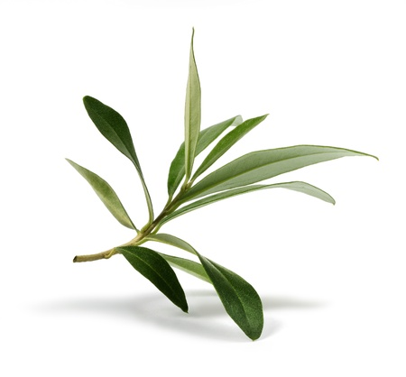 olive branch: Fresh olive branch leaves isolated on white background