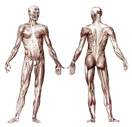anatomia: Grabado antiguo del sistema de la anatomía muscular humano Foto de archivo
