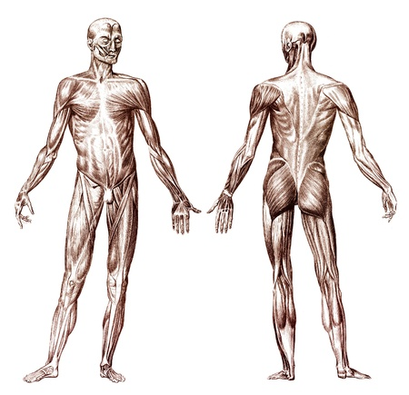anatomie humaine: Gravure ancienne du système musculaire anatomie humaine