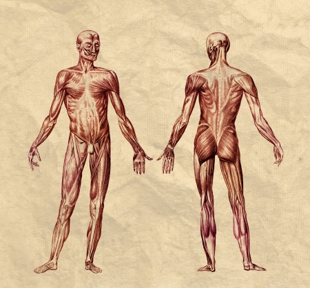 muscular men: Human muscular system engraving printed on old paper Stock Photo