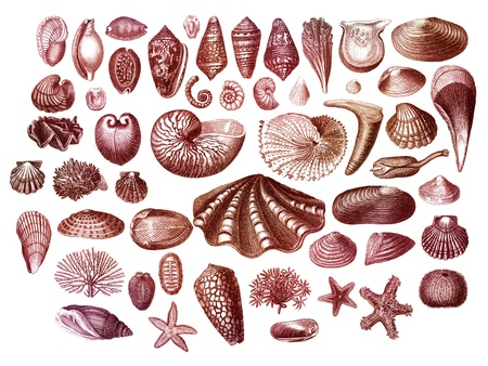 Old engraving collection of exotic sea shells