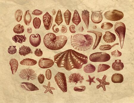 Collection of exotic sea shells printed engraving on old paper photo