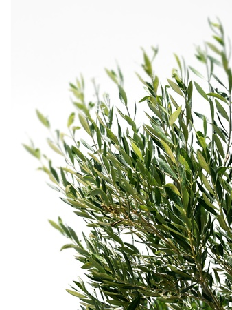 Olive tree branches isolated on white background