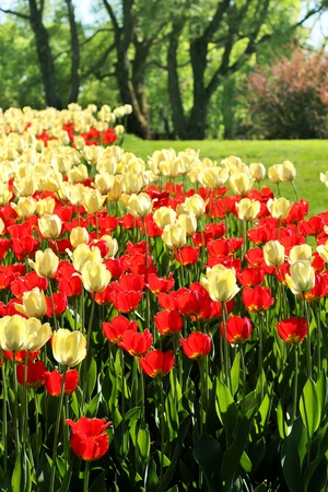 vertical garden: Red and light yellow tulips garden blossoming background