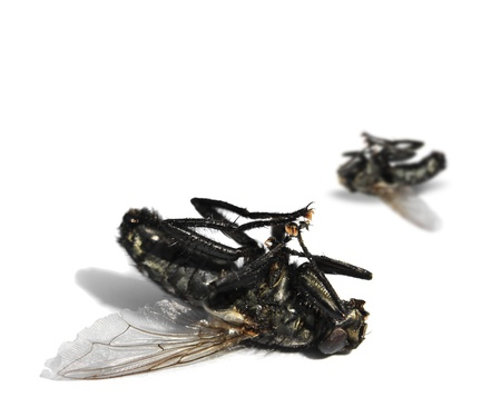 Two dead flies on white background photo