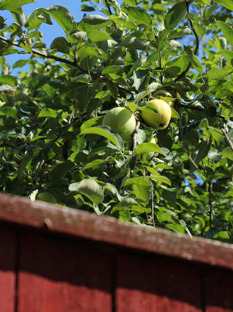 Green apples growing behind wooden red garden fence photo