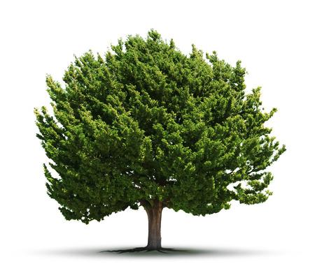 enebro: Grandes árboles de enebro verde aislado en el fondo blanco Foto de archivo