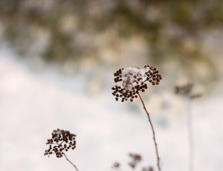 Fragile winter impression, frozen plant straw against snow bokeh photo