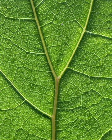 tejido: Hoja verde tejido celular patrón de textura