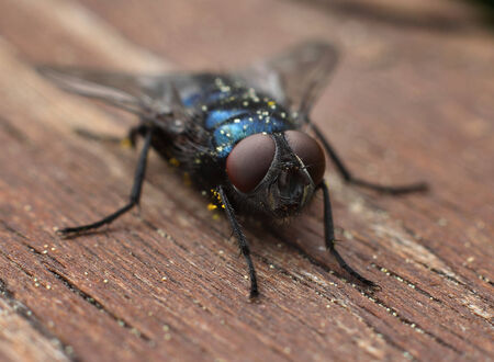 Common blue blow-fly insect closeup macro photo