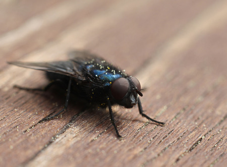 compound eyes: Common blue blow-fly insect closeup macro