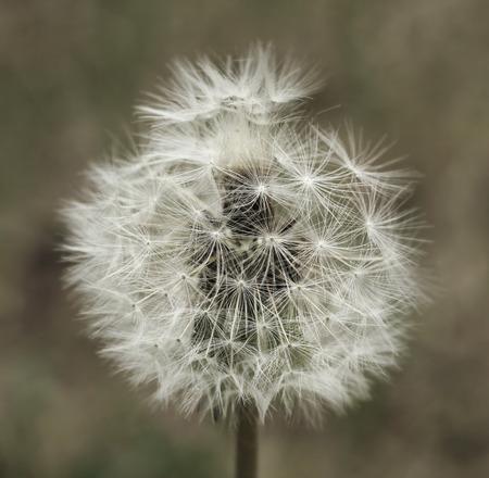 fluffy tuft: Dandelion flower tuft seeds artistic closeup Stock Photo