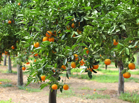 Orange trees with fruits growing in orchard