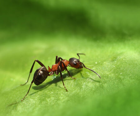 Lone red ant walking on green leaf natural background photo