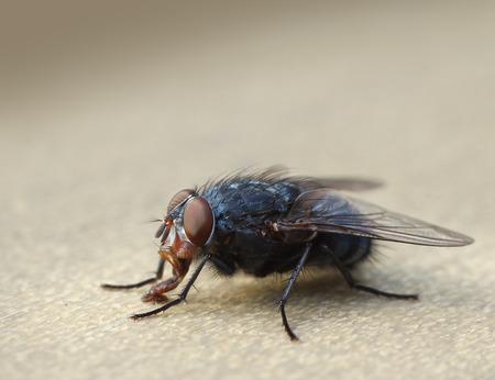 housefly: Common housefly macro insect bug closeup