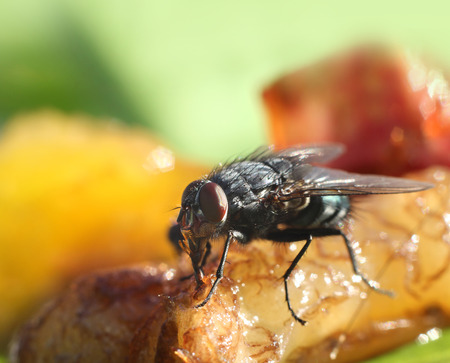 close up food: House fly close-up, food contamination hygiene concept Stock Photo
