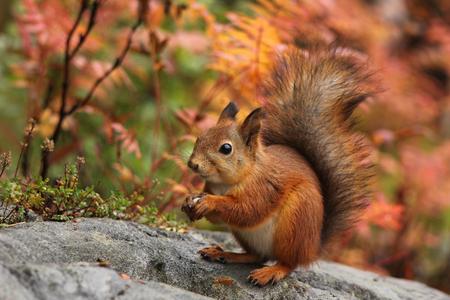 秋の森の自然の風景でかわいい赤リス 写真素材