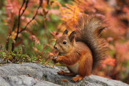 Cute red squirrel in autumn forest natural scenery Фото со стока - 33038259