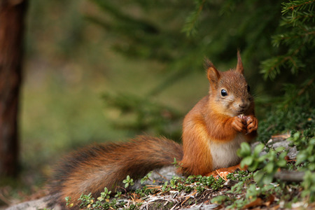 red squirrel: Cute red squirrel in green forest natural scenery