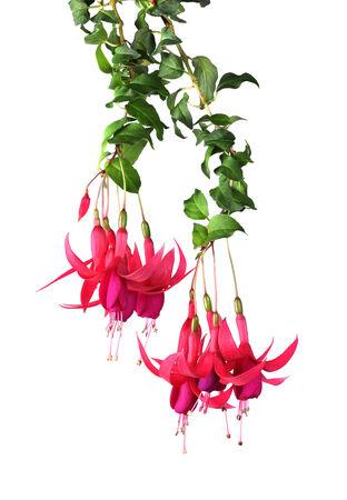 flores fucsia: Flores fucsias rosadas que cuelgan en el fondo blanco