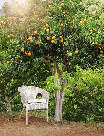 arboleda: Sillón de mimbre blanco bajo el árbol de frutas de color naranja de Garden Grove