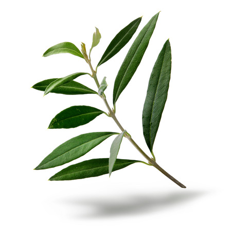 Fresh olive tree branch green leaves isolated on white background Standard-Bild
