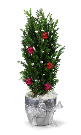 Christmas decoration cypress in silver pot isolated Фото со стока