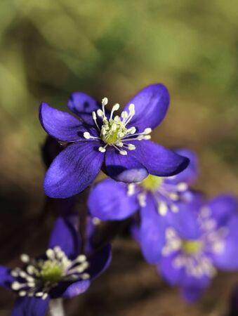hepatica: Blue hepatica flowers blooming in natural spring environment
