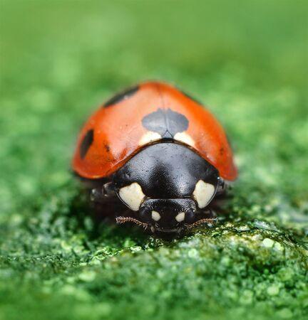 lady bug: Ladybug on green natural background macro closeup