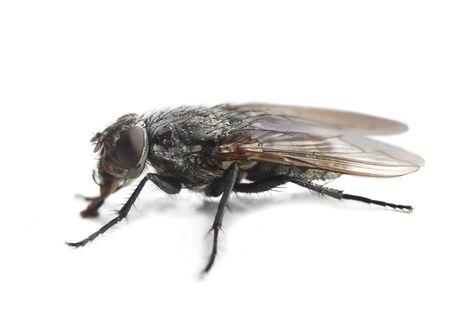 housefly: Housefly closeup macro isolated on white background