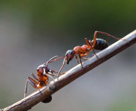 ant leaf: Dos hormigas se reúnen en el jardín en la rama ramita de la planta Foto de archivo
