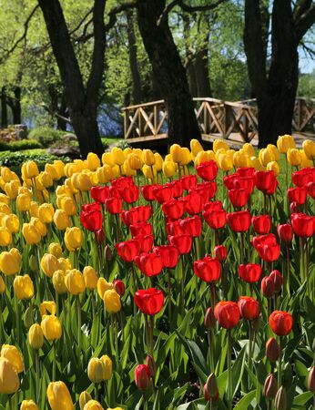 tulips field: Red and yellow tulips field near wooden bridge Stock Photo