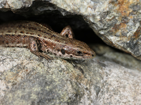 viviparous lizard: Common viviparous lizard basking on warm stone close-up