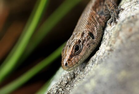 Common viviparous lizard basking on warm stone close-up photo