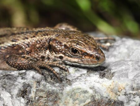 viviparous: Viviparous lizard basking on warm stone macro closeup