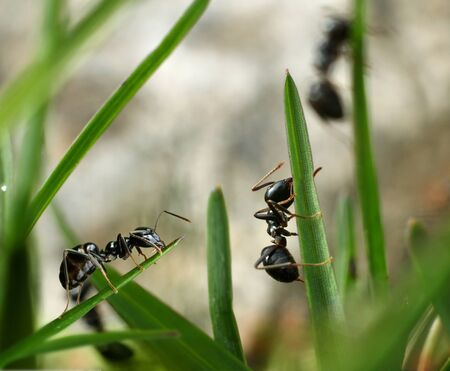an invasion: Black ants conquering garden insect invasion concept