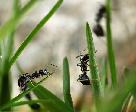 hormiga hoja: Hormigas negras jard�n conquistar concepto invasi�n de insectos