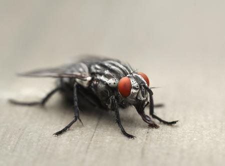 housefly: Common housefly on table, macro closeup Stock Photo