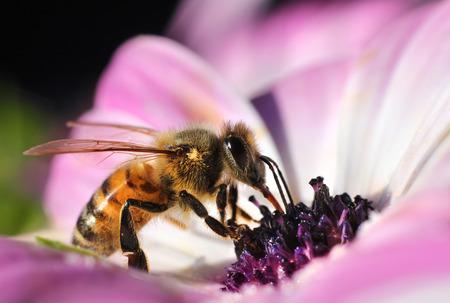 honeybee: Busy honeybee collecting nectar in beautiful pink flower
