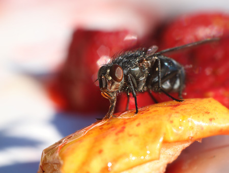 Common house fly eating sweet fruit on table Stock Photo