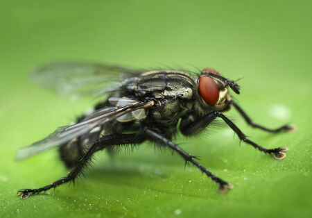 Common housefly close-up macro side view portrait