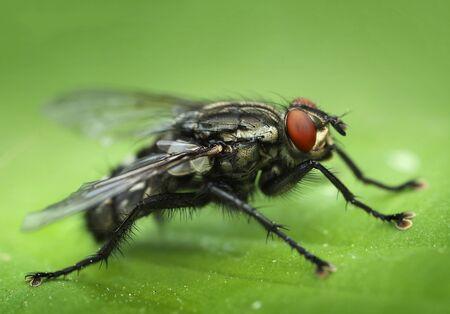 insecto: mosca común de primer plano macro vista vertical lateral Foto de archivo