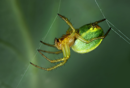 araniella: Spider Araniella displicata weaving web close-up macro Stock Photo