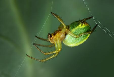 Spider Araniella displicata weaving web close-up macro Stock Photo