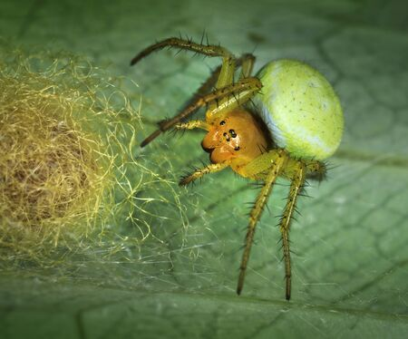 araniella: Spider Araniella displicata defending its nest close-up macro Stock Photo