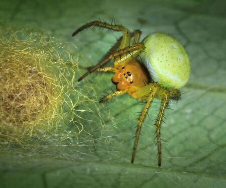 Spider Araniella displicata defending its nest close-up macro Stock Photo