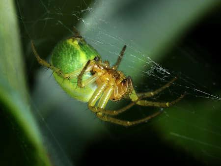 Green spider Araniella Displicata weaving web close-up macro